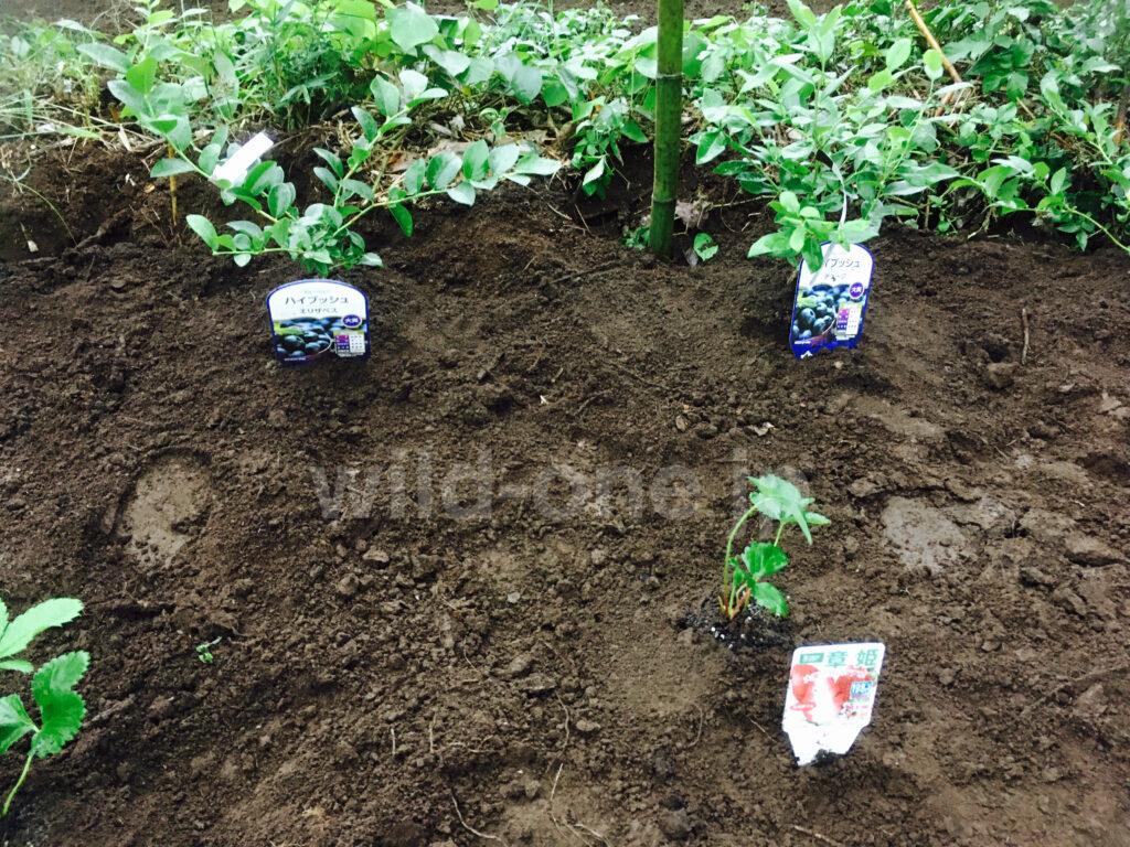 開拓地にイチゴをを植えてみた